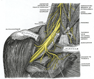 Nerves of the forearm and hand start in the neck and shoulder.